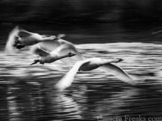一眼レフで白黒写真で撮影した白鳥