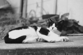 一眼レフで白黒写真で撮影した子猫