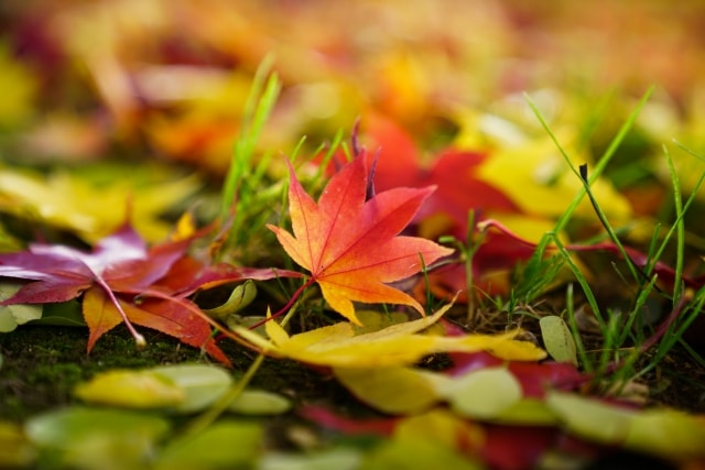 マクロレンズで紅葉のアップを撮る