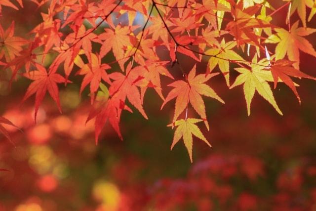 紅葉をアップで撮影した写真